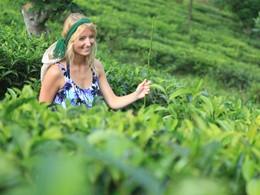 Participez à la cueillette du thé