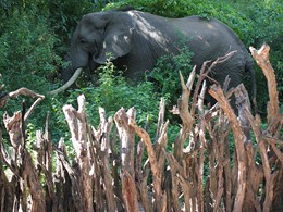 Éléphant près des Loges