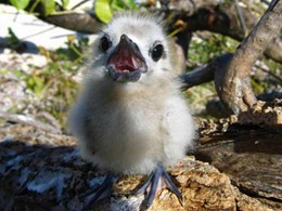 Oisillon sur l'île de Bird Island