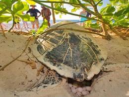 Ponte d'une tortue marine sur la plage de Bird Island