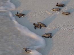Bébés tortues sur la plage de Bird Island