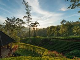 Découverte de la culture du thé à Nuwara Eliya