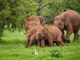 Vue des éléphants du parc national de Yala
