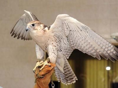 L'Hopital des Faucons
