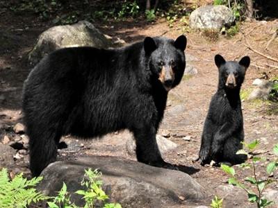 Observation de l'ours noir et du castor