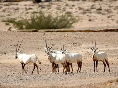 Réserve des Oryx