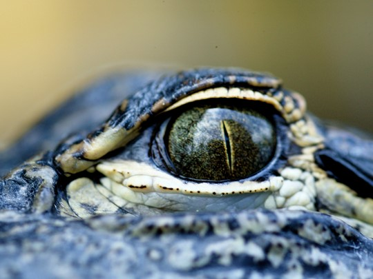 L'oeil de l'aligator