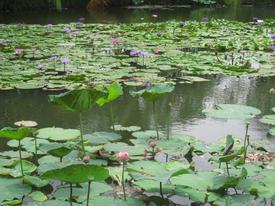 Parcourez le canal pour découvrir les cultures de fleurs de lotus