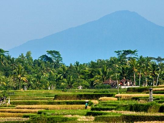 Promenade parmi les rizières d'Ubud