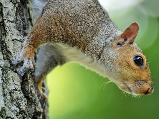 Lors d'une balade à Central Park, il ne sera pas rare de croiser des écureuils.
