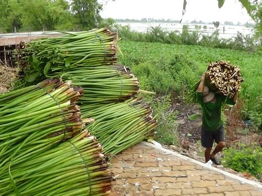 Visite des îles Binh Thanh où chaque villageois est impliqué dans la culture de la jacinthe d'eau