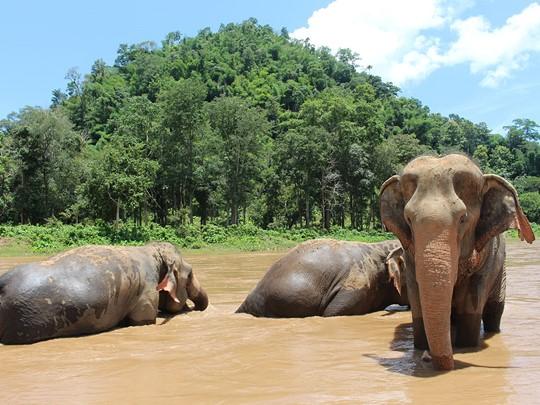 Chiang Mai, bain des éléphants