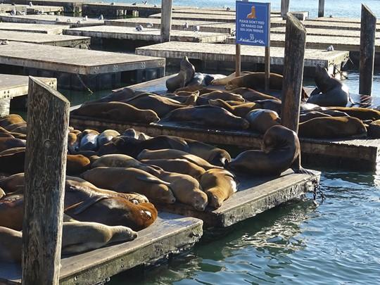 Les otaries du Pier 39 à San Francisco