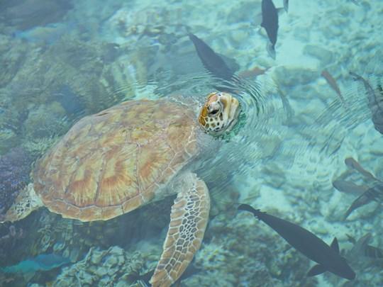 Nagez avec les tortues