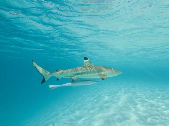 Les requins à pointe noire