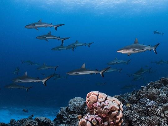 Admirez les requins de Rangiroa