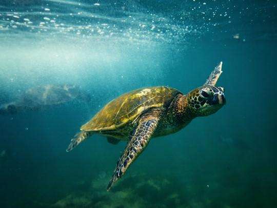 Observez les magnifiques tortues de mer à Big Island