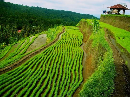 Allez explorez la belle région de Munduk et de ses rizières environnantes