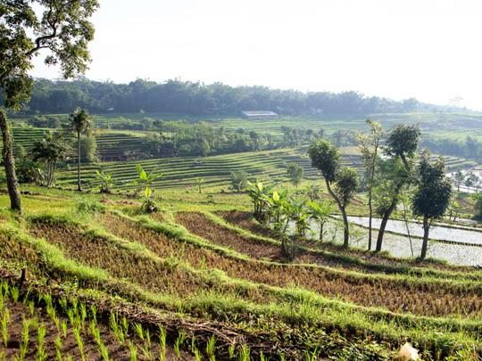 Laissez-vous séduire par la beauté des rizières en terrasse de la région de Java en Indonésie