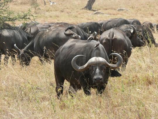Les buffles du Parc National du Serengeti