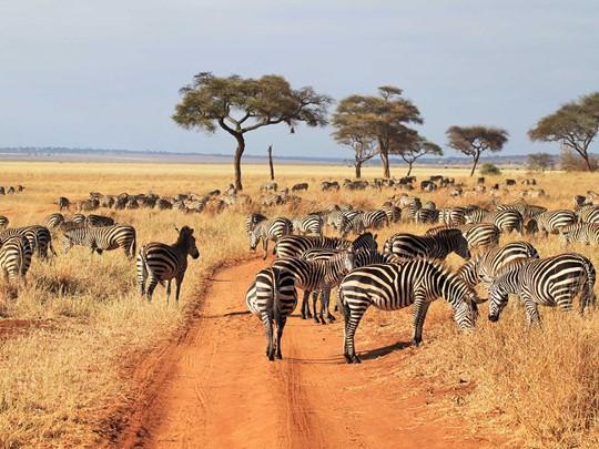 Les zèbres de Tarangire en Tanzanie
