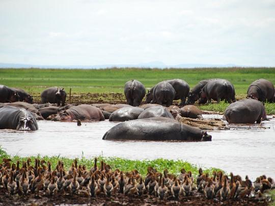 Hippopotames du Parc National de Manyara