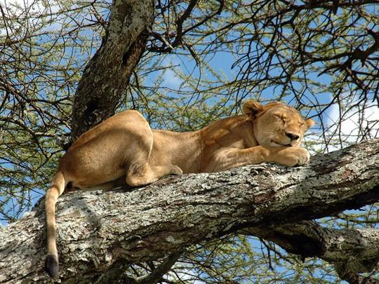 Vue des lions de Manyara perchés dans les arbres