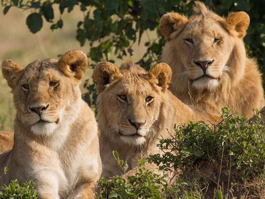 Vue des lions de Manyara en Tanzanie