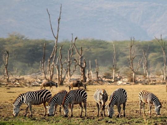 Vue des zèbres du parc Manyara situé en Tanzanie