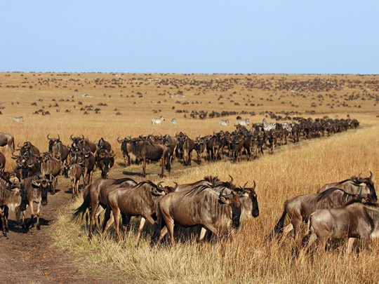 Migration de gnous dans le parc de Serengeti