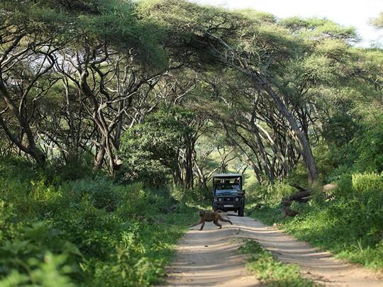 Safari en 4x4 dans le parc Manyara en Tanzanie
