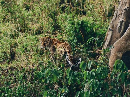 Rencontre avec un léopard au Serengeti