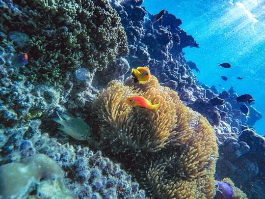 Poisson clown dans un corail mou