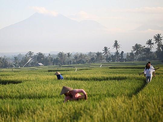 Vue des rizières à proximité du Soori Bali