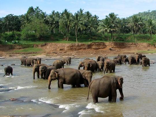 L'Orphelinat des éléphants de Pinnawela