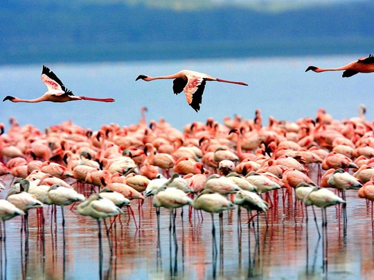 Les flamants roses du lac Manyara
