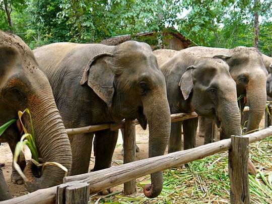 Donnez à manger aux éléphants à Elephants Haven