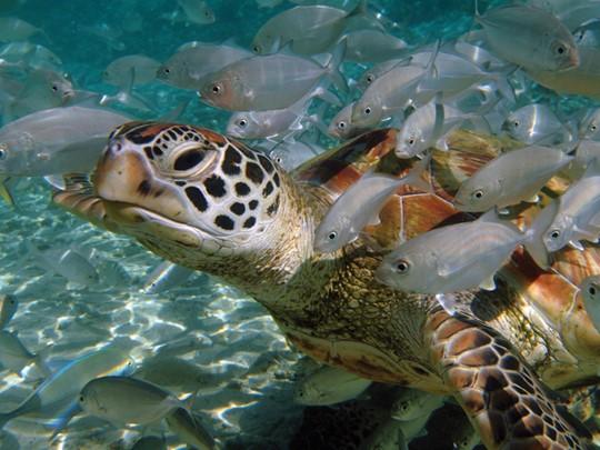 La faune marine entourant l'hôtel The Brando situé au sud-ouest de l'atoll de Tetiaroa