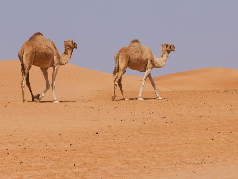 Balade à dos de chameau durant votre séjour au 1000 Nights Camp