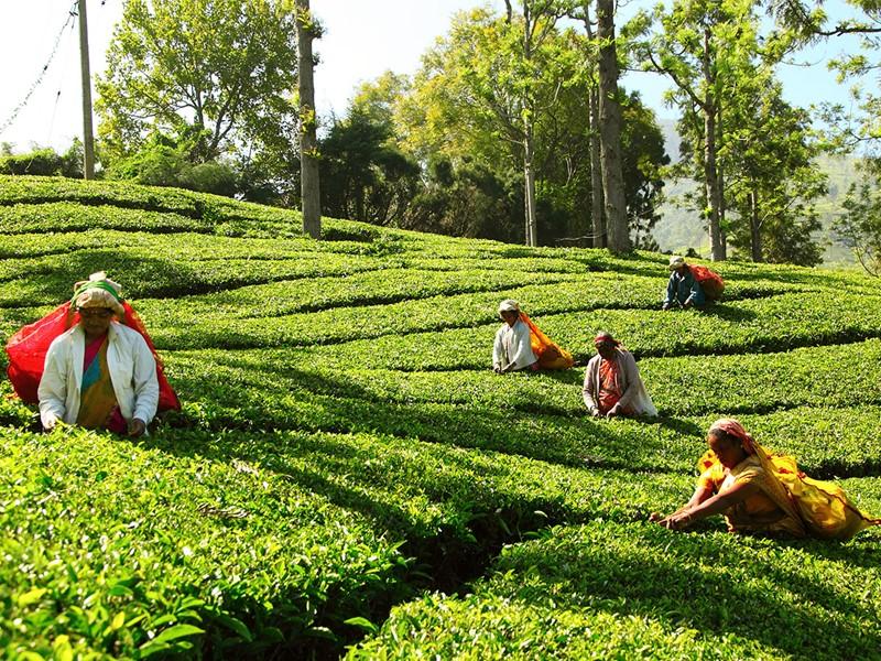 Une plantation de thé familiale