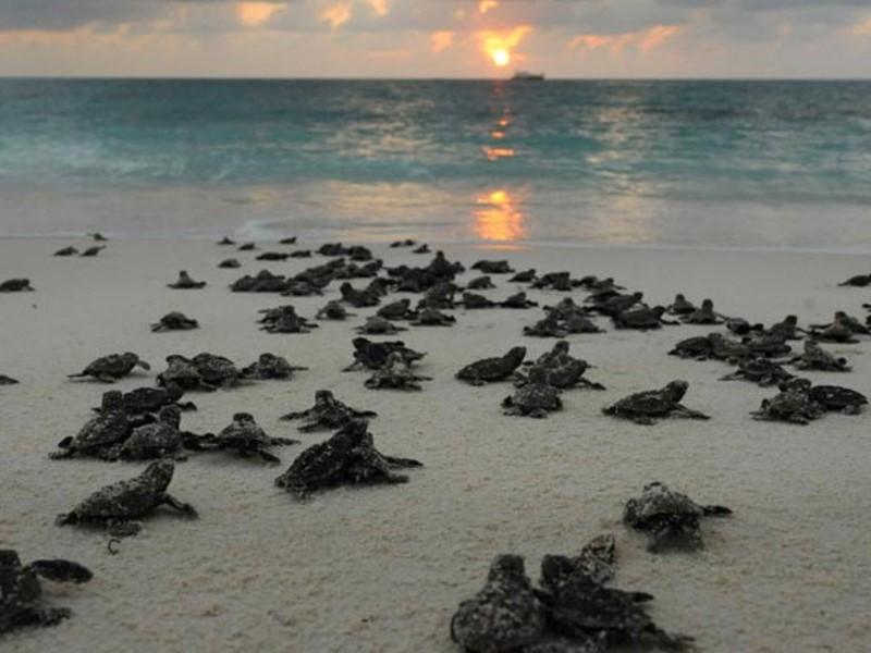 Éclosion de bébés tortues sur l'île de Bird Island