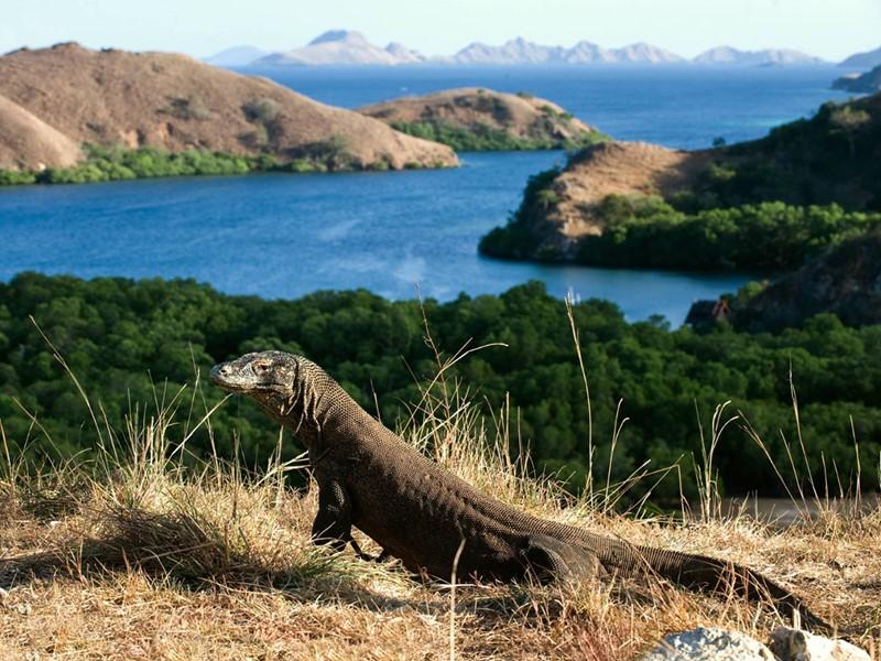 Admirez les dragons de Komodo, ces varans, tout droit sortis de la préhistoire, qui sont capables d'engloutir un cerf en quelques minutes.