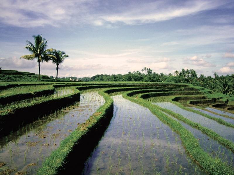 Ne repartez de Bali sans avoir contemplé les rizières en terrasse