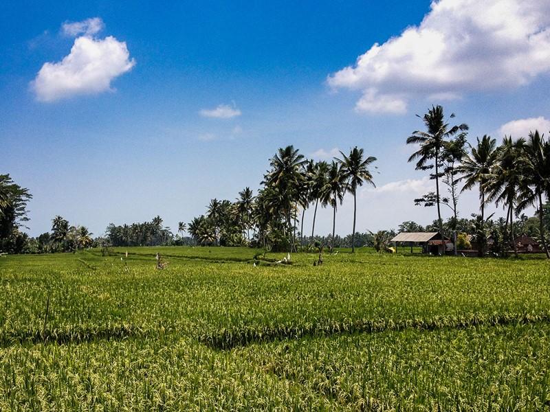 Les passionnés de nature adoreront Ubud pour ses collines verdoyantes, des forêts luxuriantes et une vaste étendue de rizières