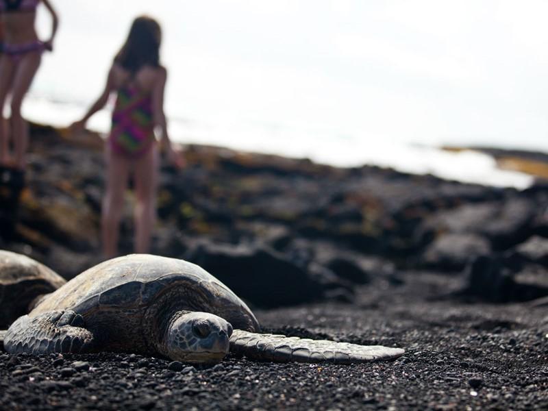 Observez les tortues sur les plages de sable noir d'Hawaï
