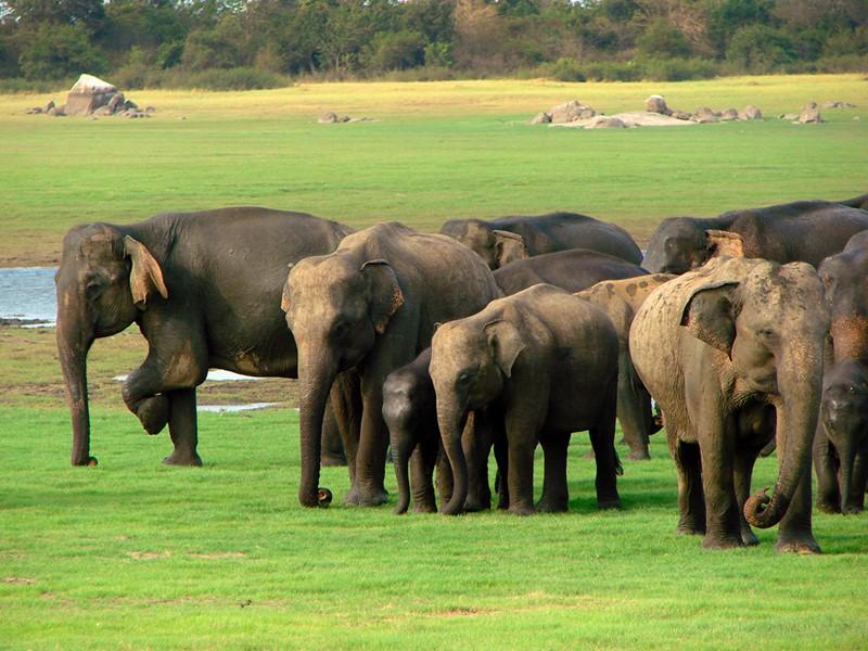 Troupeau d'éléphants à proximité de l'Heritance Kandalama