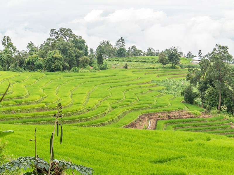 Chiang Mai, Rizière