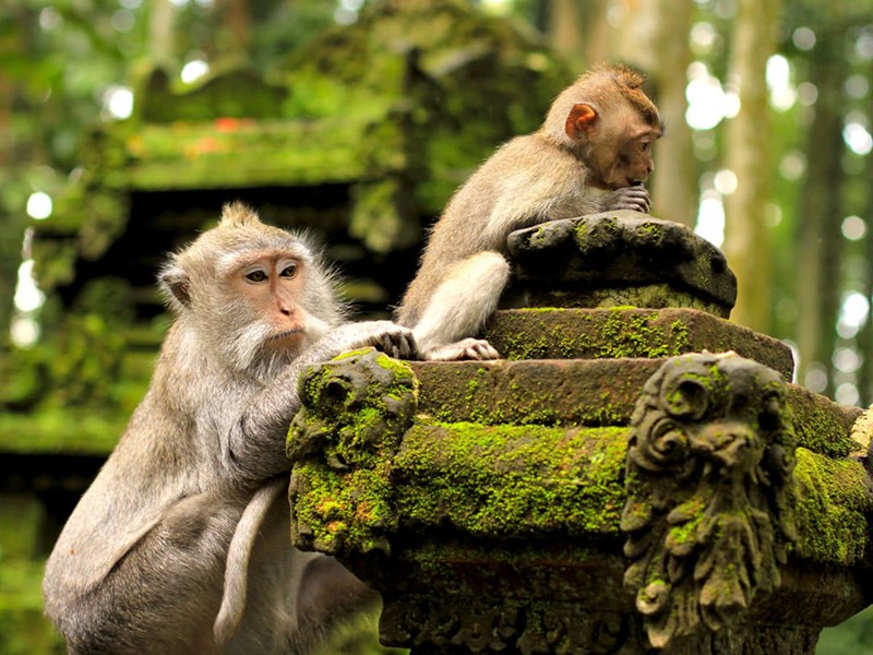 Explorez la forêt des singes, une réserve naturelle abritant plus de 200 macaques crabiers