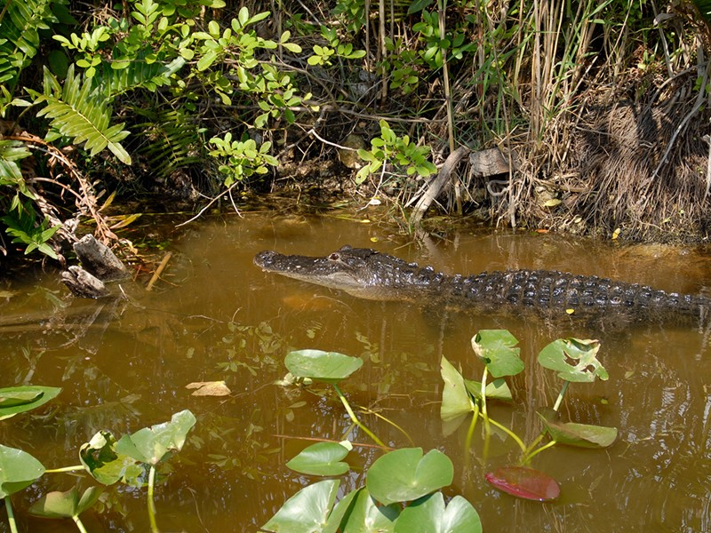 Ce parc naturel fait de mangrove abrite des alligators
