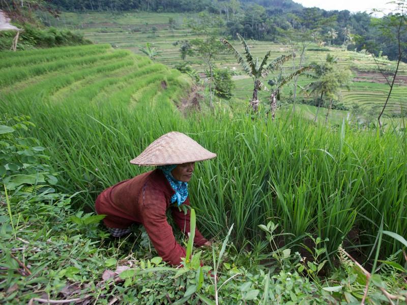 Les rizières d'Indonésie